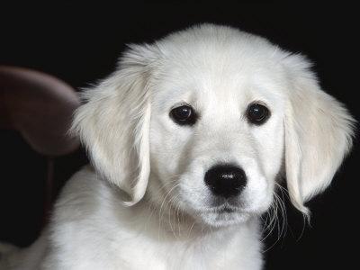 dog ear problems, golden retriever puppy