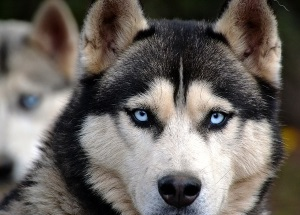 alaskan malamute with those distinctive eyes