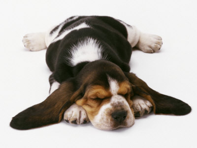 dog ear problems - basset hound puppy