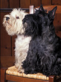 black and white scottish terriers