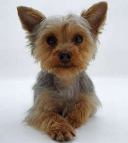 Miniature Yorkshire Terrier Lively And Sassy Toy Dogs