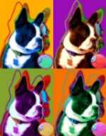 boston terrier artwork