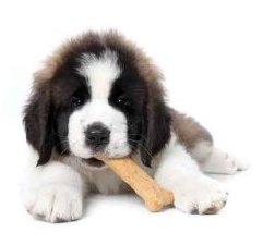 Saint Bernard Puppy Enjoying a Treat on White Background - Peel and Stick Wall Decal
