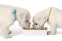 white puppies eating decal