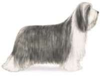 bearded collie herding dog