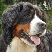 bernese mountain dog image in profile