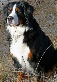 bernese mountain dog breed