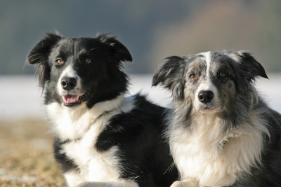 photograph of two border collies
