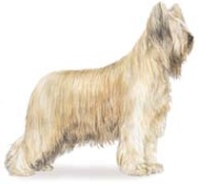 briard herding dog