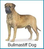 Bullmastiff dogs