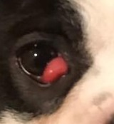 cherry eye in a dog image
