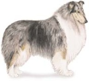 Collie herding dog breed