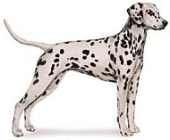 dalmatian dog standing image with no background