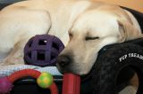 dog sleeping with toys