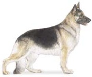 german shepherd herding dog