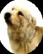 glen of imaal terrier training