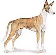 ibizan hound dogs
