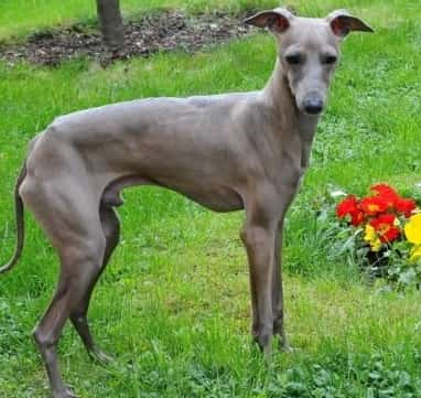 italian greyhound in the grassy woods with flowers nearby