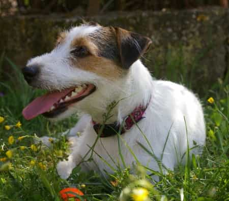 parson russell terrier lying down outside in the grass and flowers