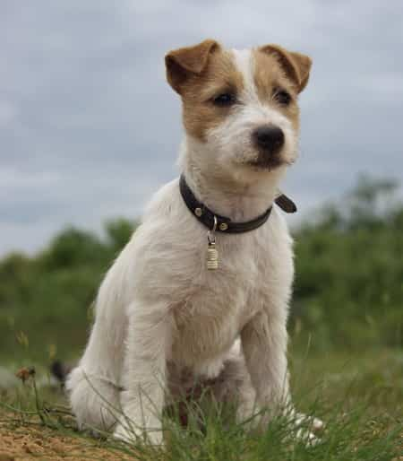young jack russell terrier sitting outside in rural terrain