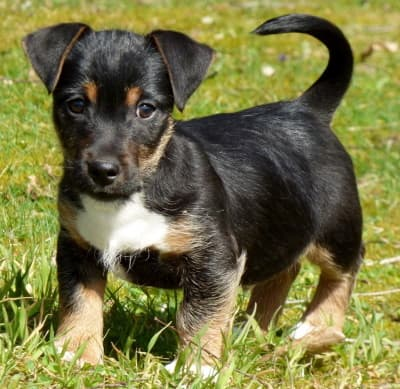 manchester terrier puppy standing in the grass