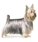 miniature dog breeds also known as toy dogs