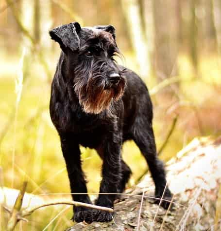 miniature schnauzer dog in the wood standing on a log