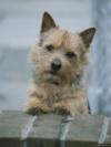 norwich terrier artwork