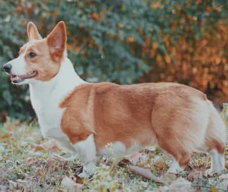 pembroke welsh corgi standing outside in bushy surroundings