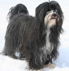 PON - polish sheepdog