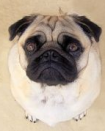 pug facts - pug dog picture