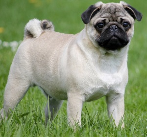 pug toy dog standing in a field with green grass