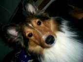 picture of Troy a Shetland Sheepdog