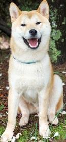 akita dog breed outdoor image