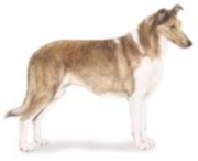 smooth coated collie dog