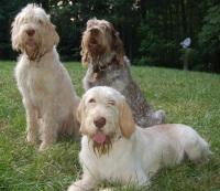 spinone italiano dogs