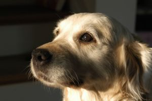ear infections in dogs - golden retriever