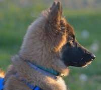 belgian tervuren puppy in sweet profile