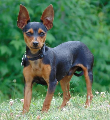 toy manchester terrier standing in the grass