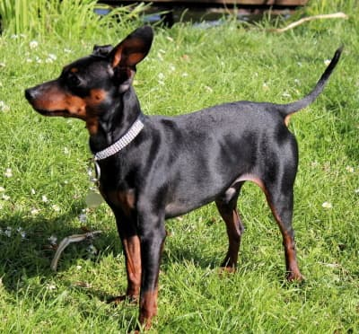 toy manchester terrier standing outside