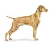 Hungarian Vizla hunting dog