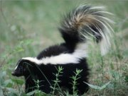 skunk odor removal