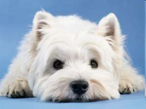 dog eye problems, west highland white terrier