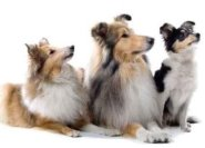 Collie Dogs Isolated on White Decal