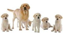 five labrador retriever puppies with mom