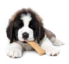 Saint Bernard Puppy Enjoying a Treat on White Background - Peel and Stick Wall Decal