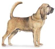 bloodhound dog