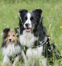 two border collies of different coloration