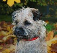 border terrier outside among the leaves