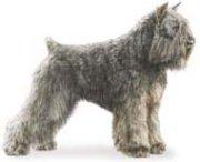 bouvier des flandres herding dog